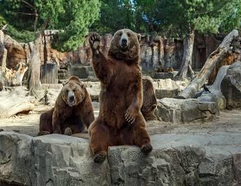 Bears at Big Bear Alpine Zoo